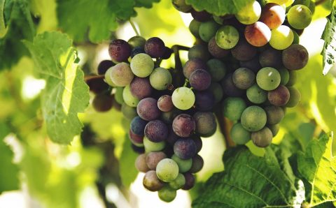 Grapes Can Ward Off Depression